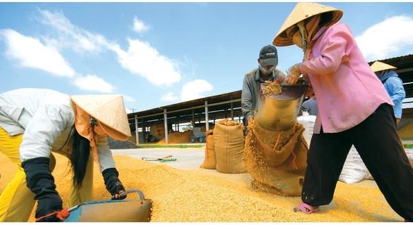 Gạo Việt rồi chỉ bán được cho người nghèo