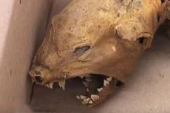 Phát hiện xác quỷ hút máu Chupacabra huyền thoại