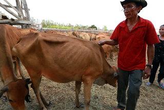 Biên giới khô cháy, bò chết hàng loạt