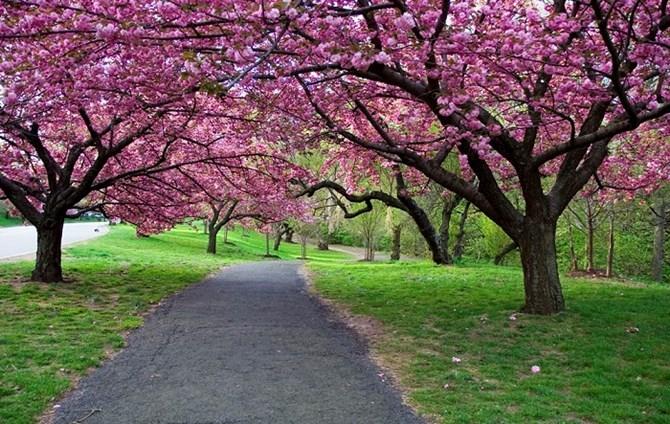Lý do người Trung Quốc thích ngắm hoa anh đào ở Nhật.