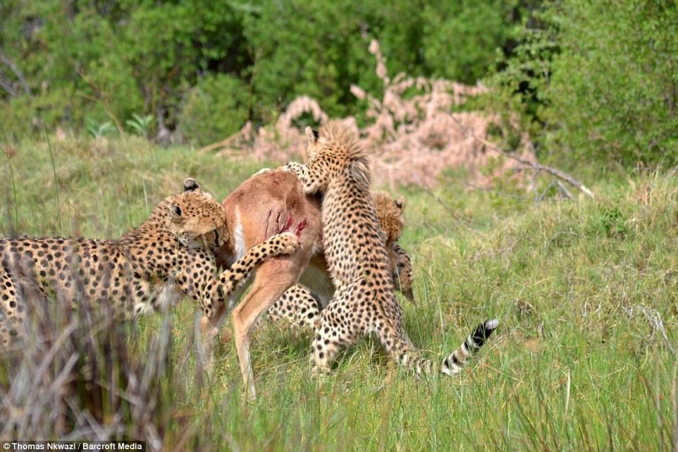 Xem báo cheetah dạy con kỹ năng hạ gục con mồi