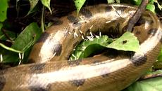 Rắn 'khổng lồ' Anaconda quằn quại vì quấn phải nhím độc