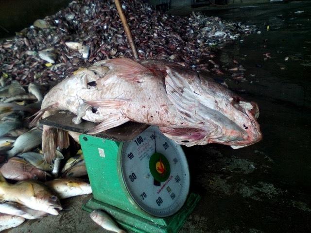 cá chết trắng biển, miền Trung, nước nhiễm độc, Vũng Áng, cá chết bất thường
