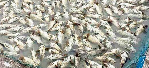 cá chết hàng loạt, bí ẩn, bất thường