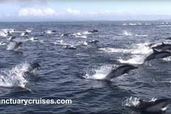 Xem cá voi sát thủ truy sát 1000 cá heo trên Thái Bình Dương