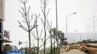 Hà Nội: Cây mới trồng đã chết khô, dân chặt làm củi