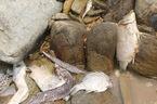 Toàn cảnh cá chết nhiễm độc tràn bãi biển miền Trung