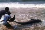 Huế: Cá voi chết bất thường dạt vào bờ biển