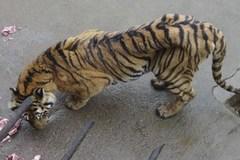 Hơn 1.800 con hổ nuôi trong công viên để... ngâm rượu
