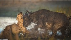 Cú húc sấm sét, trâu rừng vùi dập sư tử đến chết
