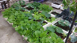 Vợ chồng trẻ trồng 200 thùng rau, nuôi chim bồ câu trên sân thượng