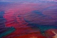 Thủy triều đỏ chỉ xảy ra ở độ sâu 2 mét dưới mặt biển?