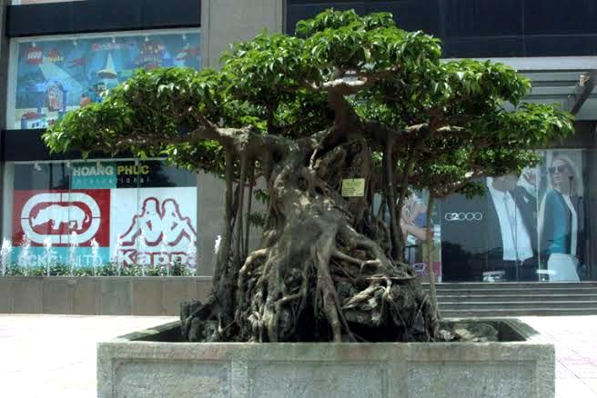 cây cảnh, triển lãm cây cảnh, siêu phẩm, siêu cây cảnh, cây cảnh Việt Nam, nghệ nhân cây cảnh