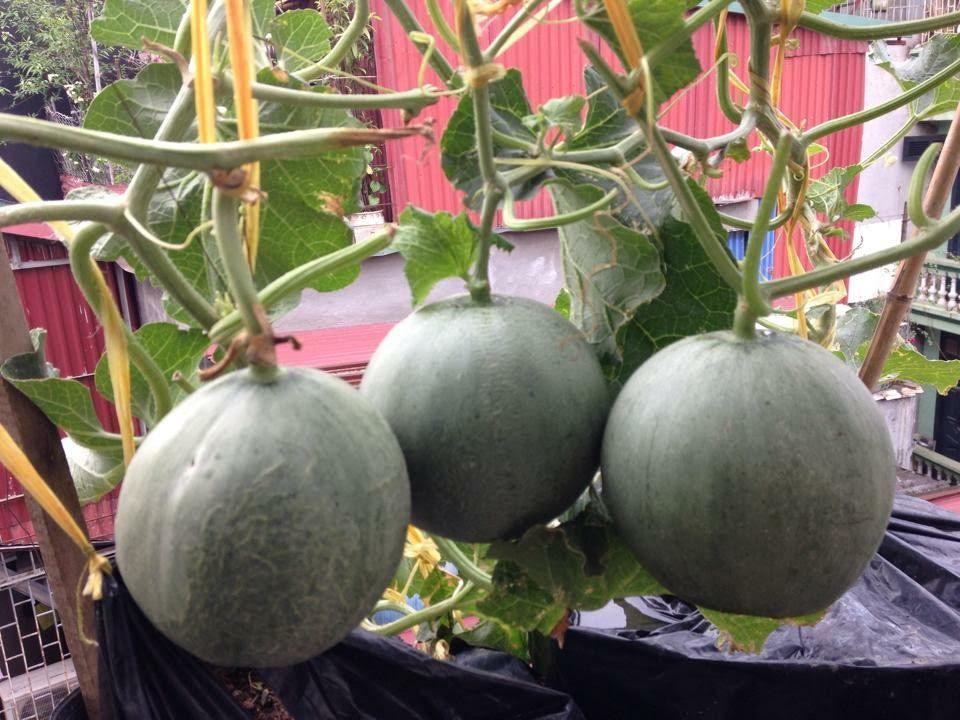 trồng dưa trên sân thượng, vườn dưa sân thượng, trồng dưa hấu, chàng trai 9X, dưa sạch, Hà Nội