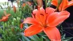 Vườn hoa đáng mơ ước của mẹ Việt trên đất Mỹ