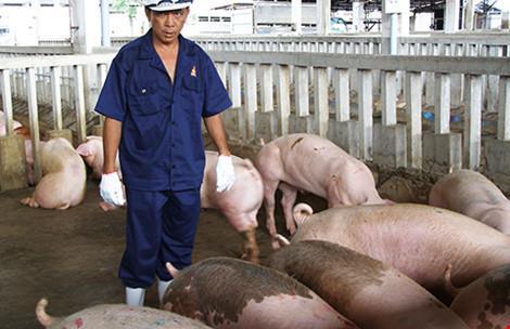 Heo Vietgap nhiễm chất cấm: Kiểu làm rởm ở Việt Nam