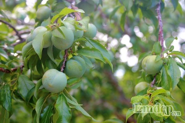 Vườn mận đầu mùa sai trĩu quả chỉ ngắm thôi cũng đủ thèm thuồng