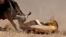 Trâu rừng húc sư tử lăn lộn bảo vệ con