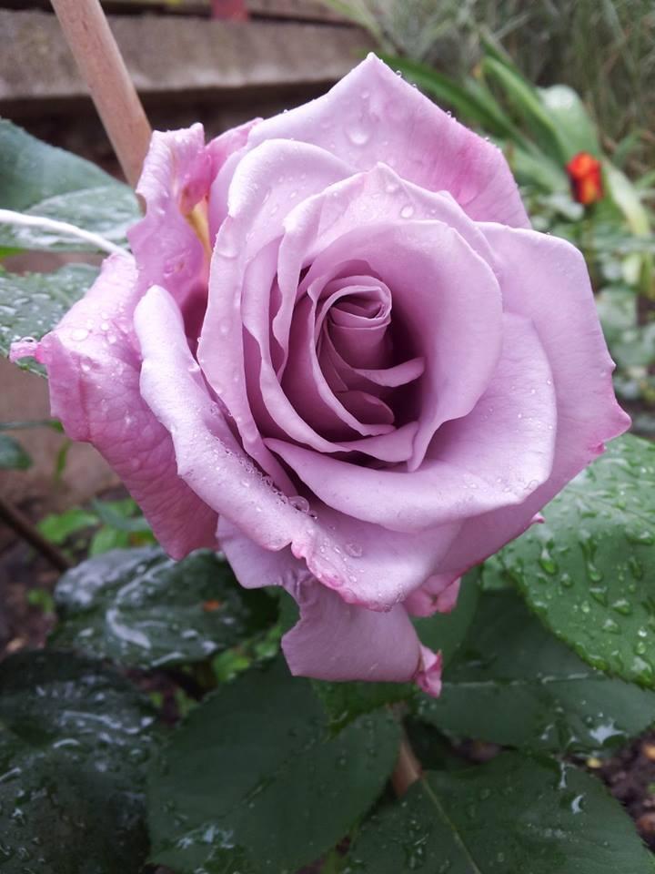 trồng hoa, khu vườn, hoa hồng, thủy tiên