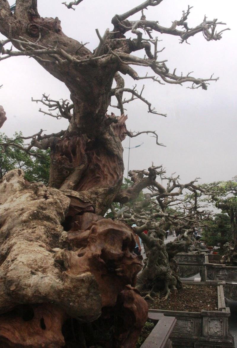 Siêu phẩm tiền tỷ: Gốc cây trăm tuổi nửa sống nửa chết - ảnh 7