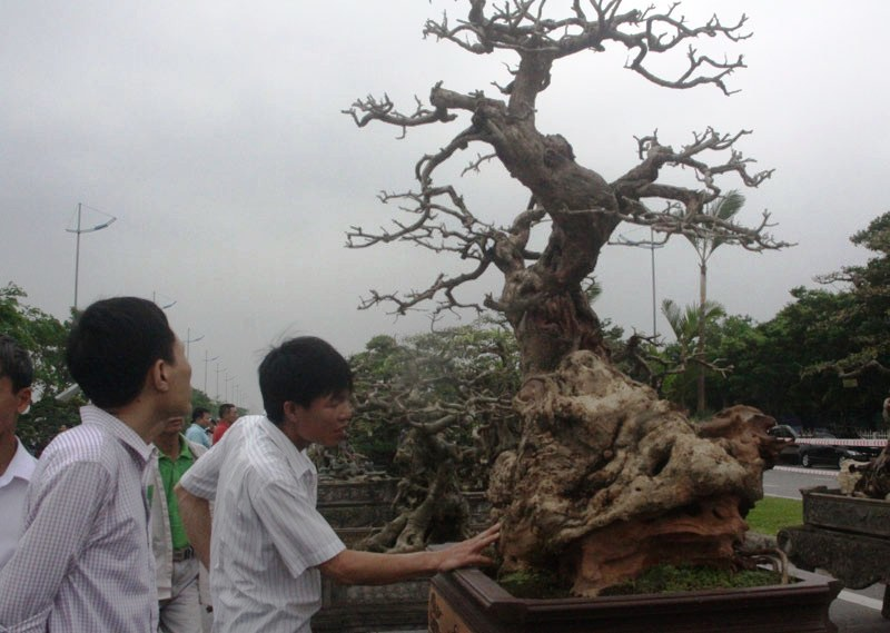 Siêu phẩm tiền tỷ: Gốc cây trăm tuổi nửa sống nửa chết - ảnh 8