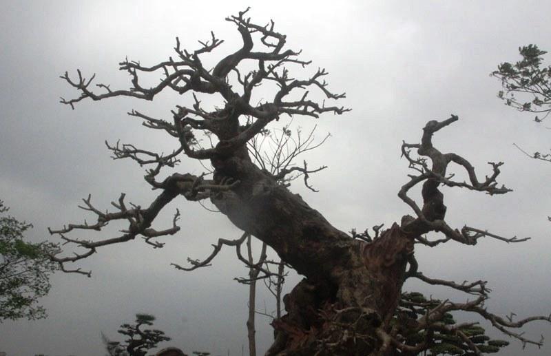 Siêu phẩm tiền tỷ: Gốc cây trăm tuổi nửa sống nửa chết - ảnh 12