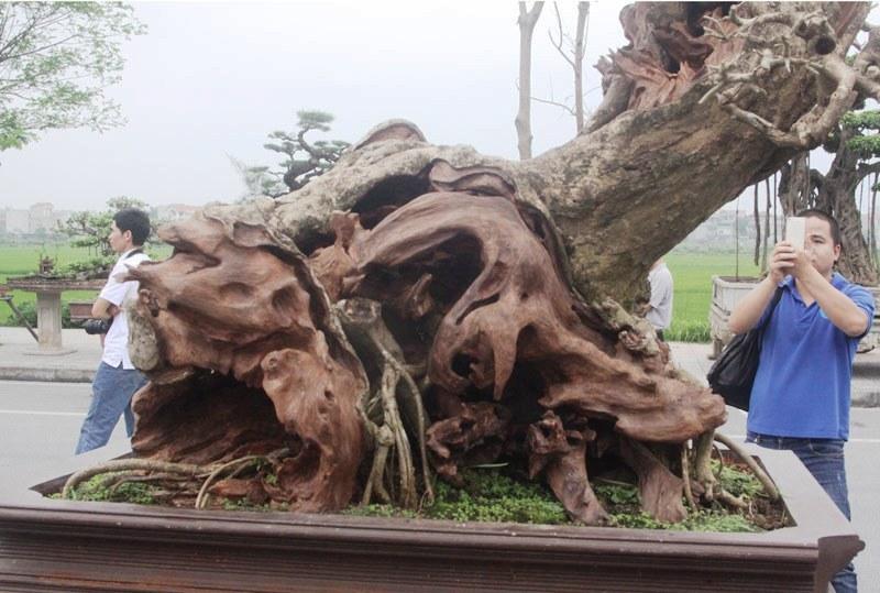 Siêu phẩm tiền tỷ: Gốc cây trăm tuổi nửa sống nửa chết - ảnh 13