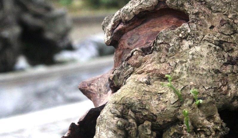 Siêu phẩm tiền tỷ: Gốc cây trăm tuổi nửa sống nửa chết - ảnh 9