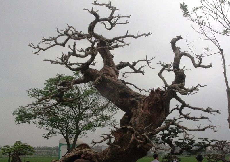 Siêu phẩm tiền tỷ: Gốc cây trăm tuổi nửa sống nửa chết - ảnh 10