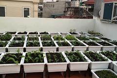Vườn sân thượng phủ kín 70 thùng rau