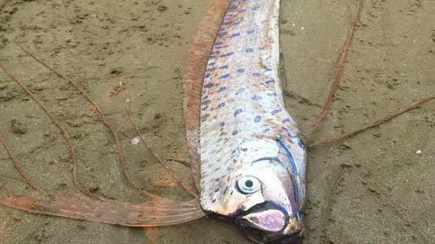 Xác cá lạ dài 2,2m dạt vào bờ biển Hà Tĩnh