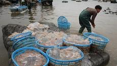 Phát hãi: Sứa giả Trung Quốc làm từ chất đông đặc