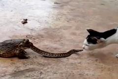 Cóc 'khủng' nuốt rắn, mèo bị choáng
