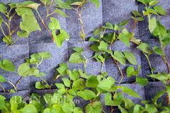 Hướng dẫn chi tiết cách làm vườn treo rau sạch thông minh