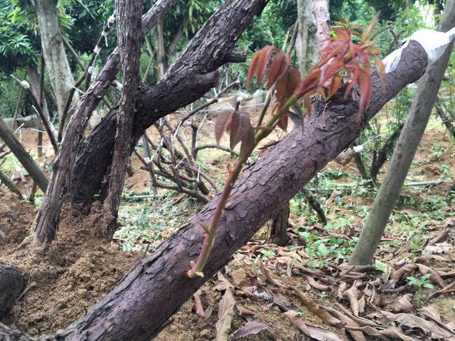 hồng cổ SaPa, thung lũng hoa hồng, đại gia Việt, vườn hồng cổ, hồng cổ ở Hà nội