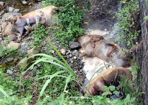 Trung Quốc dừng nhập khẩu lợn: Lợn 'quay đầu' về đâu?