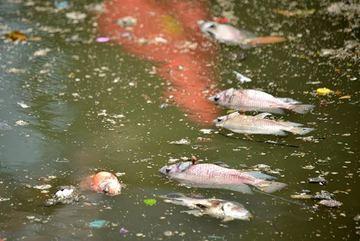 Người Sài Gòn xót cảnh cá chết trắng kênh Nhiêu Lộc