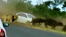 Bị sư tử truy sát, trâu rừng suýt nghiền nát ô tô