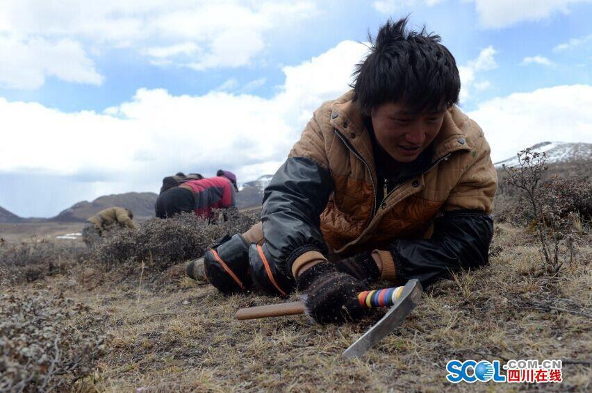 Nô nức đi săn đông trùng hạ thảo trên cao nguyên