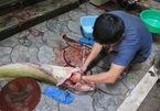 Xẻ thịt cá lăng sông Đà 1,5 mét: Đại gia làm bữa nhậu