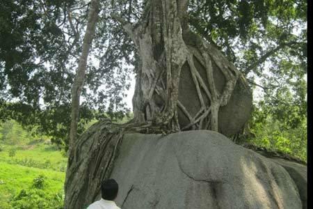Siêu cây ngàn tuổi xứ Nghệ giá trăm tỷ không bán