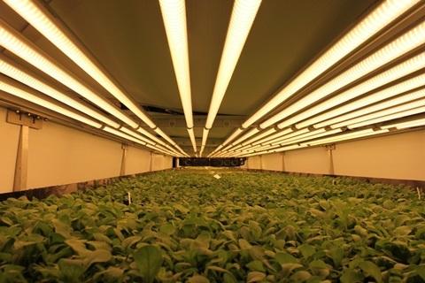 Trang trại 900 tấn rau sạch không cần đất, thuốc trừ sâu