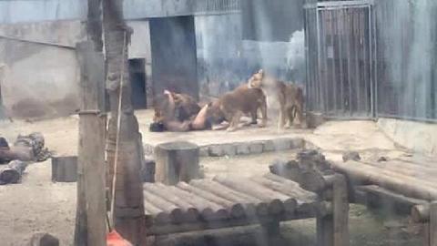 sư tử, tự sát, tự tử