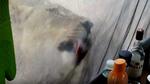 Khoảnh khắc kinh hoàng người quay phim ẩn mình sát sư tử