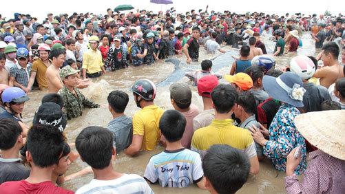 Giải cứu cá voi ở Nghệ An