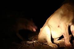 Liều lĩnh cướp mồi, linh cẩu lao vào cắn xé sư tử