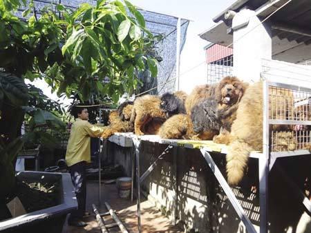 Chó ngao Tây Tạng 500 triệu đắt nhất Sài Thành