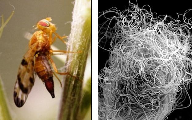 tinh trùng, con giống, ruồi giấm