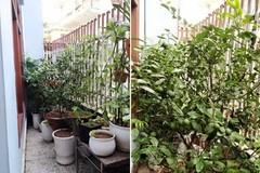 Vợ chồng doanh nhân Hà Nội nuôi gà trồng rau trên sân thượng