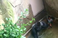 Video sốc: Bé 4 tuổi bị khỉ đột 2 tạ lôi xềnh xệch dưới nước